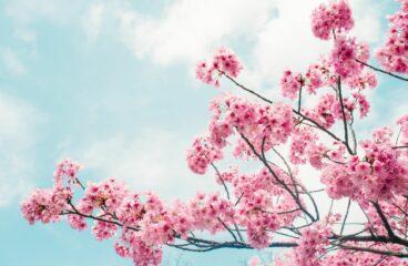 Když sněží květy v třešňovém sadu